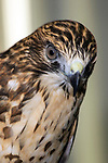 Broad winged hawk close-up of head and shoulders, vertical