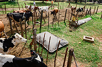 KENYA, County Kakamega, Bukura, ATDC Agricultural Technology Development Center, milk cows and mobile biogas plant from REHAU company / KENIA, mobile REHAU Biogasanlage, Milchkuehe