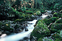 A bush creek with moss covered rocks in the South Westland, New Zealand