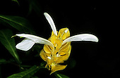 Sao Vicente, Brazil. Unusual yellow honeycomb flower with three white petals coming out of it.