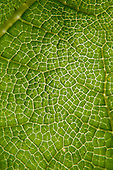 Richmond Park, England. Detail of green leaf veins.
