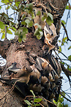 Straw-coloured Fruit Bats (Eidolon helvum) at their daytime roosts in 'Mushitu' or ever-green swamp forest. Kasanka National Park, Zambia.