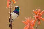 White-bellied Sunbird (Nectarinia talatala) male, Kruger National Park, South Africa