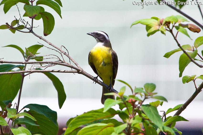 Social Flycatcher, El Remate, Peten, Guatemala