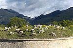 troupeau de moutons sur la place forte de Mont-Dauphin construite par Vauban à partir de 1693, inscrite en 2008 au Patrimoine mondial de l'UNESCO.<br /> Mont-Dauphin castle built by Vauban in 1693, on the Unesco list since 2008