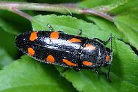 Variabler Prachtkäfer, Schlehen-Prachtkäfer, Schlehenprachtkäfer, Punktschild-Prachtkäfer, Ptosima undecimmaculata, Ptosima flavoguttata, splendour beetle