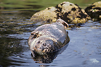 Harbor Seal (Phoca vitulina) resting on coastal rocks.