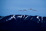 Chilean Flamingo (Phoenicopterus chilensis) group flying, Torres del Paine National Park, Patagonia, Chile