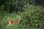 White-tailed deer browsing a Morrow's honeysuckle bush