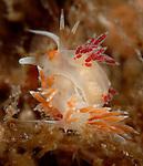Cratena peregrina, mating nudibranchs