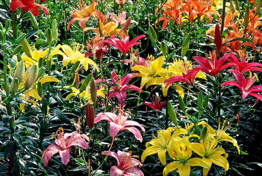 Garden with yellow, orange and red Asiatic lilies (Lilium, Asiatic hybrid) #6749. Virginia.