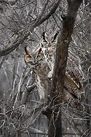 Great Horned Owl couple, Muleshoe National Wildlife Refuge
