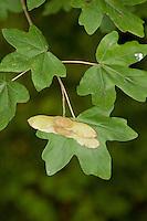 Feld-Ahorn, Feldahorn, Ahorn, Frucht und Blatt, Blätter, Acer campestre, Field Maple, Hedge Maple