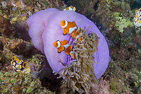 False Clown Anemonefish, Amphiprion ocellaris, in anemone. note shrimp, Lembeh Strait, North Sulawesi, Indonesia,