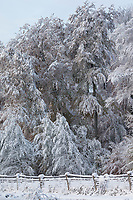 Verschneite Bäume, Baum, Waldrand, Schnee, Wintereinbruch im November, Deutschland, Schleswig-Holstein. Winter, snow, tree, trees