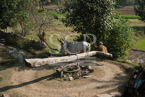 India; road from Udaipur to Jodhpur. Old man driving a pair of oxen to power a water wheel for irrigating the fields.