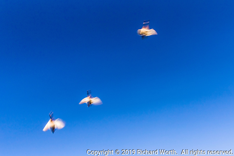 Birds in flight against a clear blue sky, their flight accentuated by slow-shutter capture.