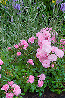 Rosa 'The Fairy' rose and Lavandula angustifolia lavender herb with variegated foliage