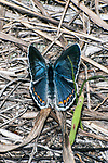 karner blue butterfly female sitting on grass in pine barren, concord, new hampshire, vertical