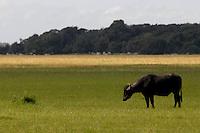 Búfalos pastam nos campos de Cachoeira do Arari.<br /> Cachoeira do Arari, Pará, Brasil.<br /> Foto Paulo Santos