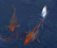 Koi fish swimming in blur motion