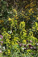 Mahonia aquifoium?, Euphorbia amygdaloides var. robbiae, Helleborus x hybridus plum, Lunaria annua