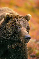 Grizzly Bear surrounded by birch and willow bushes..Denali National Park, Alaska. Autumn..(Ursus arctos).