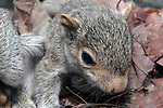 3 week old Eastern gray squirrel pup in nest, close-up.