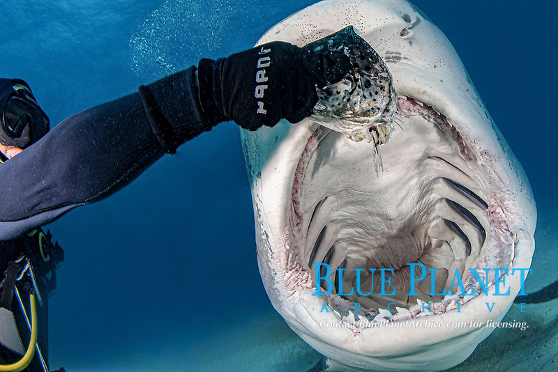 tiger shark, Galeocerdo cuvier, mouth wide open during a shark feed at Tiger Beach; a famous shark diving site on Little Bahama Bank in the Bahamas, Atlantic Ocean