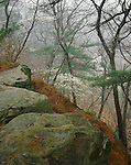 Starved Rock State Park, IL: Fog in an early spring forest with flowering Serviceberry (Amelanchier arborea) and mossy rocks