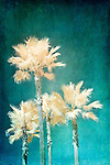 Textured image of four palm trees taken with infrared camera