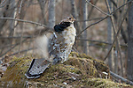 Ruffed grouse standing in the deep woods
