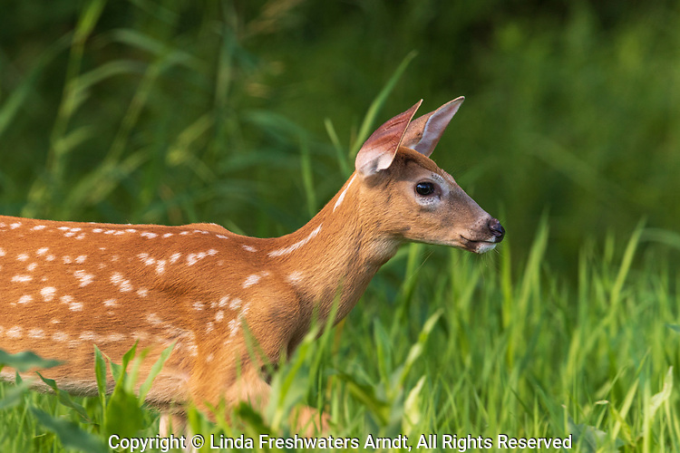 White-tailed fawn in northern Wisconsin.