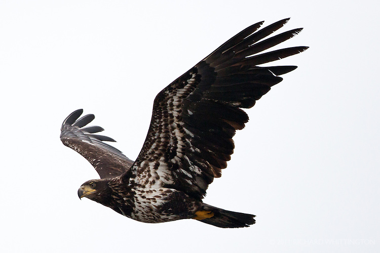 This mottled brown eagle in flight is an immature Bald Eagle, ediz Hook, Port Angeles, Washington.