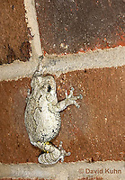 0202-0911  Eastern Gray Treefrog on Brick Wall of House at Night Hunting for Insects (Grey Tree Frog), Hyla versicolor  © David Kuhn/Dwight Kuhn Photography.