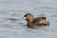 Adult Pied-billed Grebe (Podilymbus podiceps) in breeding plumage.  Snohomish County, Washington. April.