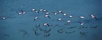 Europe/France/Provence-Alpes-Côte d'Azur/13/Bouches-du-Rhône/Camargue : Flamants roses (Phoenicopterus ruber)  en vol - Vue aérienne