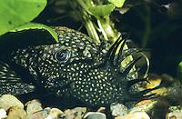 Blauer Antennenwels, Portrait Männchen, Antennen-Wels, Wels, Antennen-Harnischwels, Ancistrus cf. dolichopterus, bushynose, bristlenose plecos
