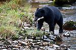 Adult Black Bear (Ursus americanus) by stream fishing for salmon. Princess Royal Island, Great Bear Rainforest, British Columbia, Canada