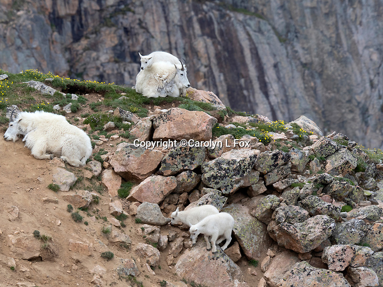 We found mountain goats on the Beartooth Highway, which is outside the Northeast entrance to Yellowstone National Park.