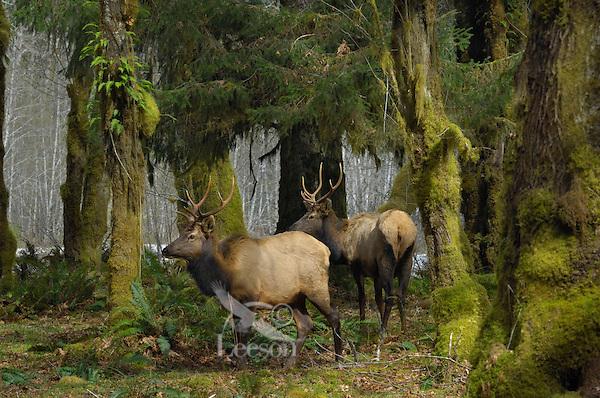 Roosevelt Elk (Cervus elaphus roosevelti) in Olympic National Park temperate rain forest.