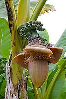 Musa green Bananas in flower on banana tree