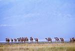 Bactrian camel herd, Great Gobi Protected Area, Mongolia