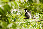 Mantled Colobus (Colobus guereza) sub-adult in rainforest tree, Kibale National Park, western Uganda