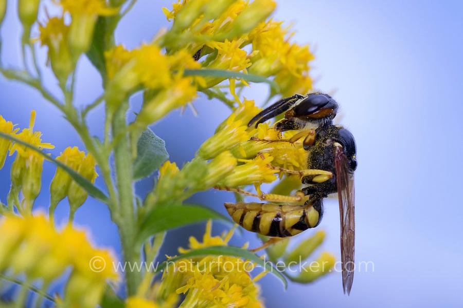 Bienenwolf, Blütenbesuch an Kanadische Goldrute, Philanthus triangulum, Philanthus apivorus, European beewolf, beewolf, bee-eating philanthus, le philanthe apivore