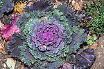 Ornamental Cabbage, Concord, Massachusetts