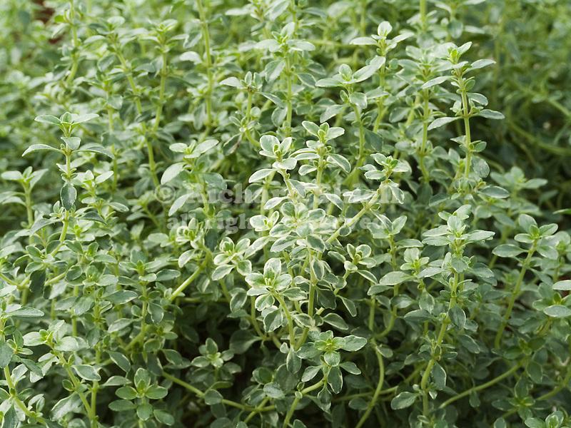 Silver Queen Thyme, Thymus citriodora