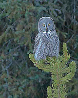 The Great Grey Owl (Strix nebulosa) is a very large owl, distributed across the Northern Hemisphere. In some areas it is also called the Great Gray Ghost, Phantom of the north.  Canyon area, Yellowstone.