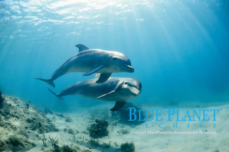 common bottlenose dolphins or Atlantic bottlenose dolphins, Tursiops truncatus, Roatan, Bay Islands, Honduras, Caribbean Sea, Atlantic Ocean (c)