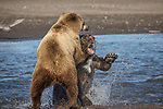 Pictured:  Sequence 2 of 13:  The mum (foreground) having caught the fish is attacked by the other bear<br /> <br /> Grizzly bears viciously attack each other as they battle over a fish.  The two brown-haired bears became aggressive as they came to blows over their food, digging their paws and teeth into each other.<br /> <br /> Photographer Kevin Dooley spotted the female bear, thought to be about 16 years old, fighting with the younger five-year-old male bear in southwestern Alaska.  SEE OUR COPY FOR DETAILS.<br /> <br /> Please byline: Kevin Dooley/Solent News<br /> <br /> © Kevin Dooley/Solent News & Photo Agency<br /> UK +44 (0) 2380 458800